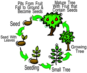 LifeCycleofTree_Graphic_300x251